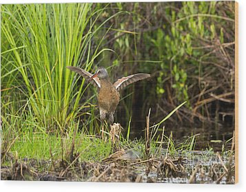 Virginia Rail Rallus Limicola Wood Print by Linda Freshwaters Arndt