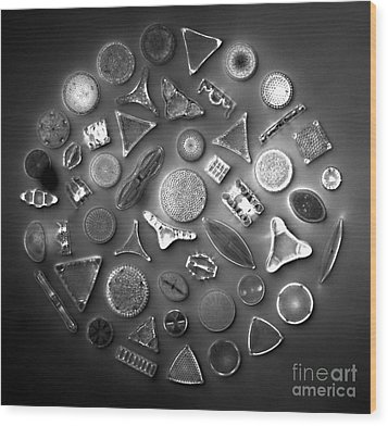 50 Diatom Species Arranged  Wood Print by Science Source