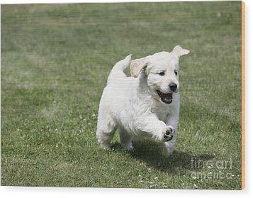 Golden Retriever Puppy Wood Print by John Daniels