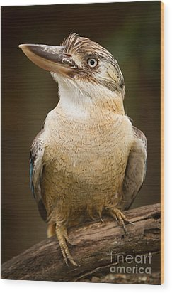 Kookaburra Wood Print by Craig Dingle