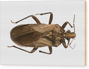 Triatomine Bug Wood Print by Science Photo Library