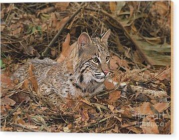 611000006 Bobcat Felis Rufus Wildlife Rescue Wood Print by Dave Welling