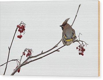Bohemian Waxwings Eating Rowan Berries Wood Print by Jouko Lehto