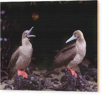 South America, Ecuador, Galapagos Wood Print