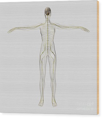 Medical Illustration Of The Human Wood Print by Stocktrek Images