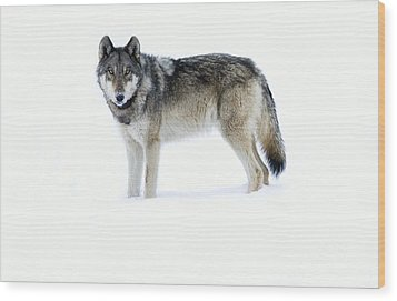 820f Of The Lamar Canyon Pack Wood Print