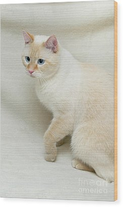 Flame Point Siamese Cat Wood Print by Amy Cicconi
