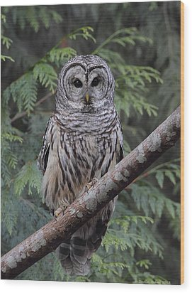 A Barred Owl Wood Print