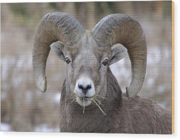 A Big Ram Caught With His Mouth Full Wood Print by Jeff Swan