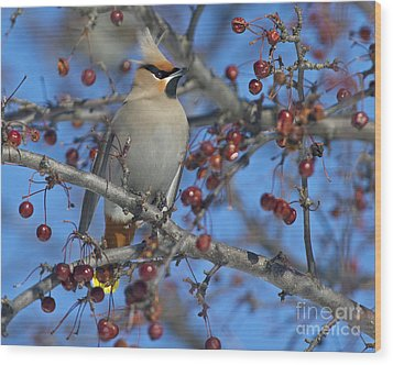 A Bird For Its Crest.. Wood Print by Nina Stavlund
