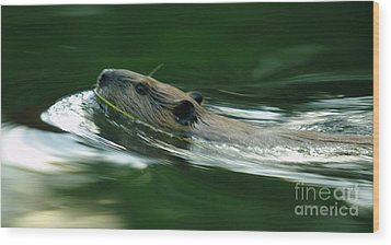 A Busy Beaver  Wood Print by Jeff Swan