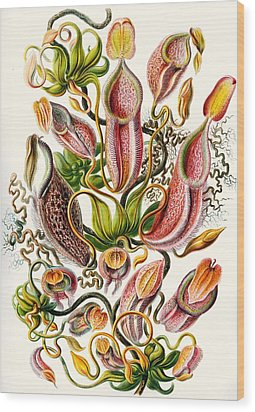 A Collection Of Nepenthaceae Wood Print by Ernst Haeckel