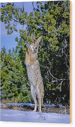 A Coyote Stands To Eat Wood Print by Martha Marks