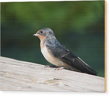 A Female Purple Martin Is Watching You Wood Print