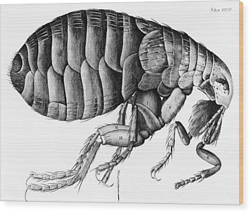 A Flea From Microscope Observation Wood Print by Robert Hooke
