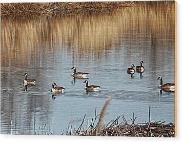 A Geese Gathering Wood Print