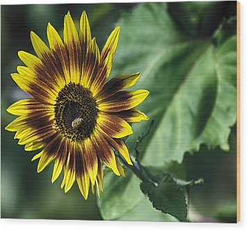 A Growing Sunflower Wood Print by Gary Neiss