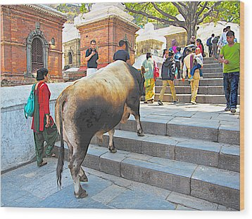 A Holy Cow Climbing Steps From Bagmati River In Kathmandu-nepal  Wood Print by Ruth Hager