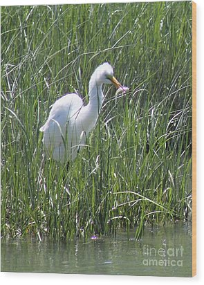 A Hungry Great Egret Wood Print
