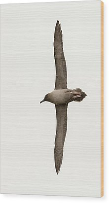 A Light Mantled Albatross Wood Print