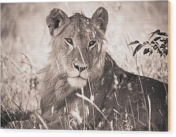 A Lioness Lays In The Shade Kenya Wood Print by David DuChemin