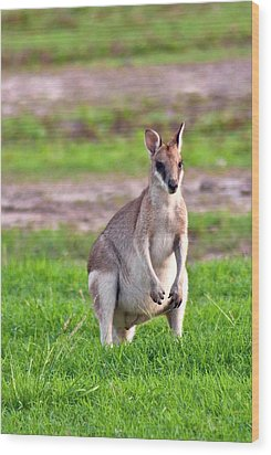 A Male Grey Kangaroos (macropus Wood Print