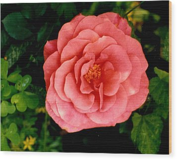 A Pink Rose Wood Print by Mary Armstrong