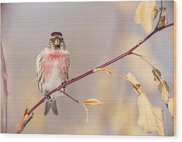 A Pretty Male Redpoll Wood Print by Tim Grams