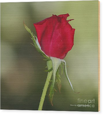 Wood Print featuring the photograph A Rose By Any Other Name by Debby Pueschel