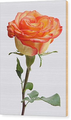 A Rose Is A Rose Is A Rose Wood Print by Juergen Roth