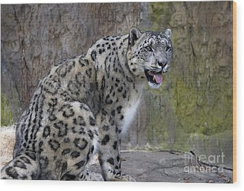 Wood Print featuring the photograph A Snow Leopards Tongue by David Millenheft