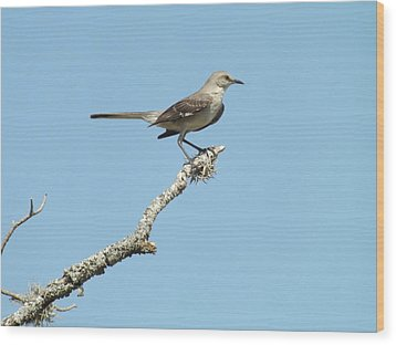 A Texas Mockingbird Wood Print by Rebecca Cearley