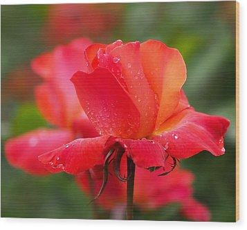 A Tintinara Rose In The Rain Wood Print by Rona Black