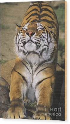 A Tough Day Siberian Tiger Endangered Species Wildlife Rescue Wood Print