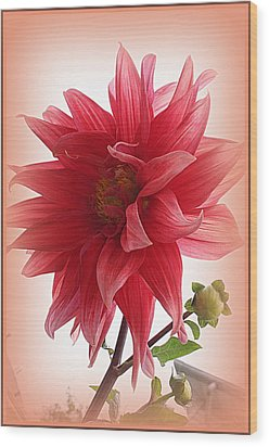 A Vision In  Coral - Dahlia Wood Print by Dora Sofia Caputo Photographic Art and Design