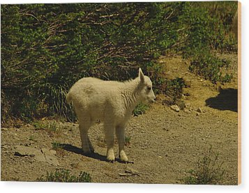 A Young Mountain Goat Wood Print by Jeff Swan