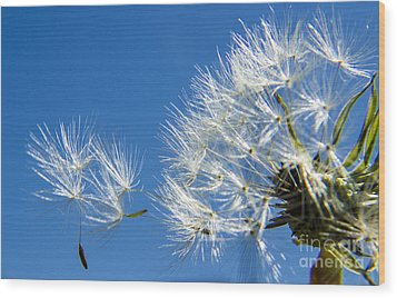About To Leave - Dandelion Seeds Wood Print