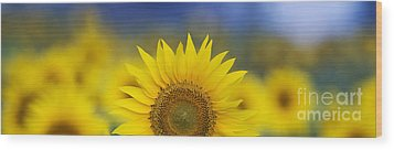 Abstract Sunflower Panoramic  Wood Print by Tim Gainey