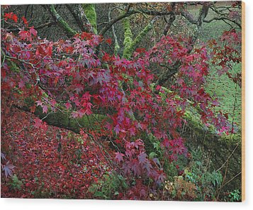 Acer Chatsworth Gardens Wood Print by Jerry Daniel