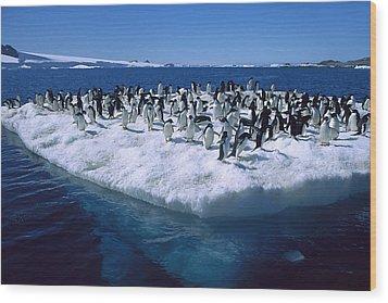 Adelie Penguins On Icefloe Antarctica Wood Print by Colin Monteath
