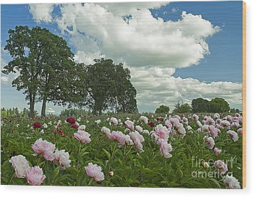 Adleman's Peony Fields Wood Print by Nick  Boren