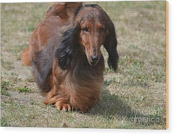 Adorable Long Haired Daschund Dog Wood Print by DejaVu Designs