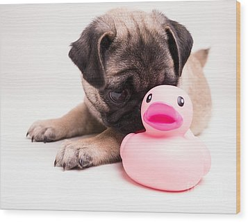 Adorable Pug Puppy With Pink Rubber Ducky Wood Print by Edward Fielding