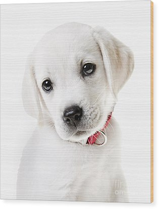 Adorable Yellow Lab Puppy Wood Print