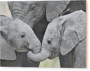 African Elephant Calves Loxodonta Wood Print