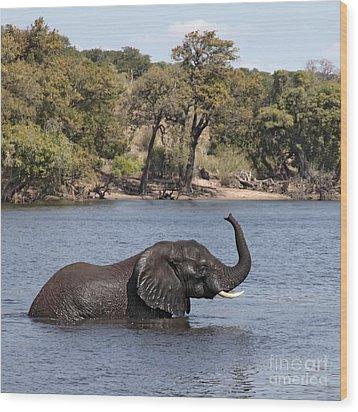 Wood Print featuring the photograph African Elephant In Chobe River  by Liz Leyden