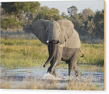 Wood Print featuring the photograph African Elephant Mock-charging by Liz Leyden