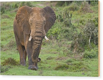 African Elephant Wood Print by Science Photo Library