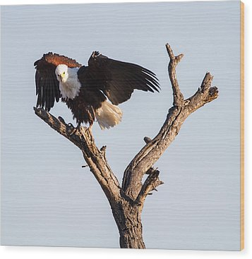 African Fish Eagle Wood Print by Craig Brown