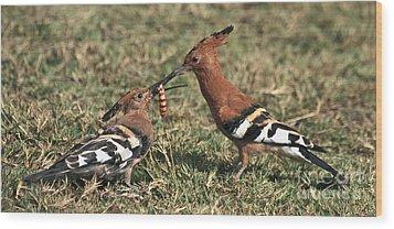 African Hoopoe Feeding Young Wood Print by Liz Leyden